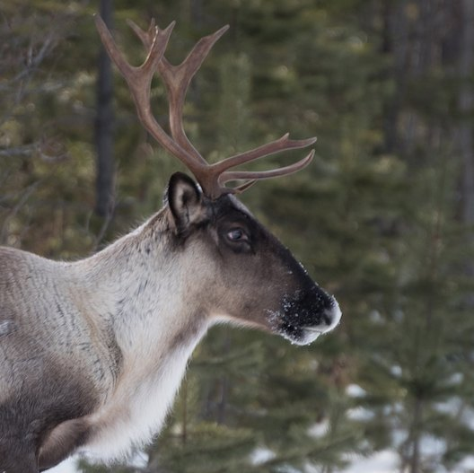 The commonly cited names of the eight fictional reindeer are Comet